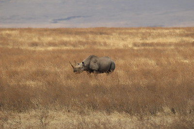 White Rhino -- Is this my good side?