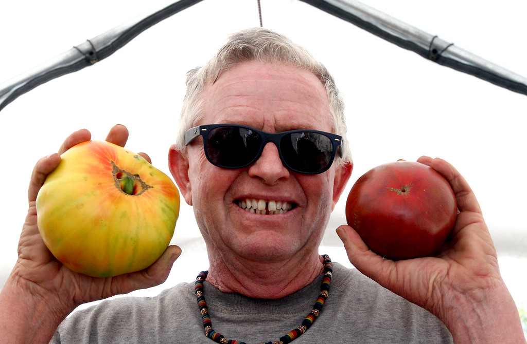 . Kimball Fruit Farm owner, Carl Hills, holds up two of his award winning tomatoes at his Pepperell farm, on left is a Pineapple Tomato, 3nd prize for heaviest, and on right is a Carbon Heirloom tomato for Best Tasting. Nashoba Valley Voice Photo by David H. Brow