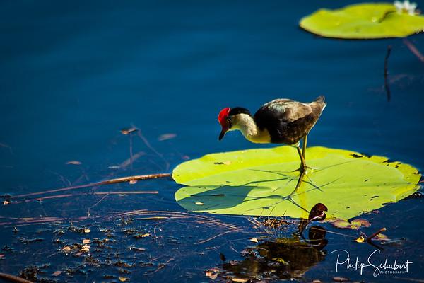 Jesus Bird - (Irediparra gallinacea)
