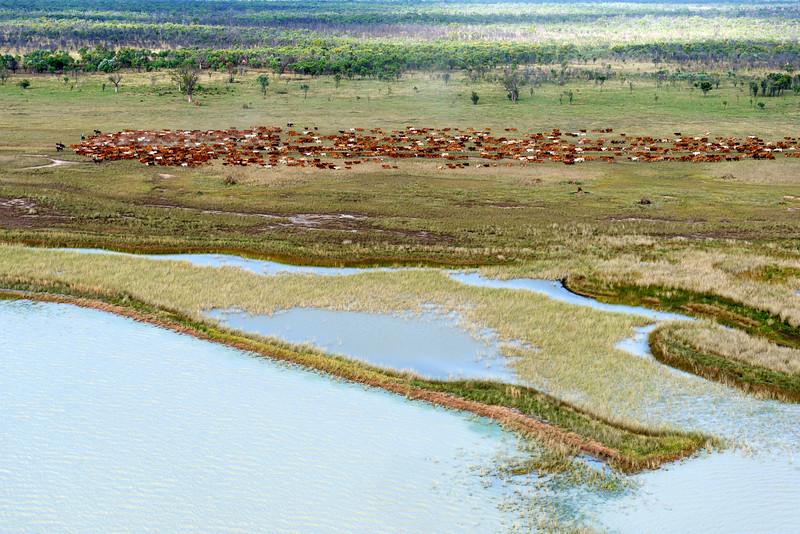 """Déplacement d'un troupeau de 1000 têtes de bétail en période de mustering sur les terres de """"Meda Station"""". Kimberley/Australie Occidentale/Australie"""