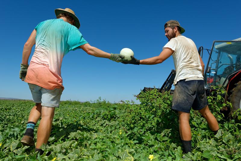 L'Allemand Enrico Schlick (à gauche) et le Français Brice Joanides (à droite), deux jeunes bénéficiaires du Working Holiday Visa, travaillant au ramassage des melons sur les terres de Bothkamp Australia Farm à Kununurra. Kimberley/Australie Occidentale/Australie