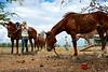"""Deux jillaroos (cow-girls australiennes) équipant des chevaux frais pendant le mustering sur les terres de """"Meda Station"""". Kimberley/Australie Occidentale/Australie"""