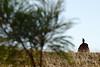 Aigle posé sur une termitière près de Halls Creek. Kimberley/Australie Occidentale/Australie
