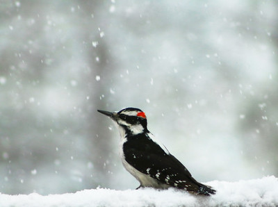 Hairy Woodpecker Pondering In The Snow