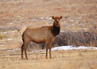 Female Elk In Spring