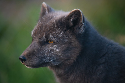 The Deep Thoughts of an Arctic Fox