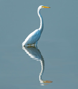 Reflections of an Egret