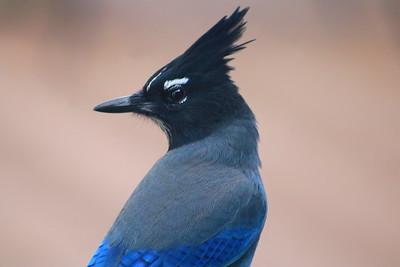 Portrait Of A Steller's Jay