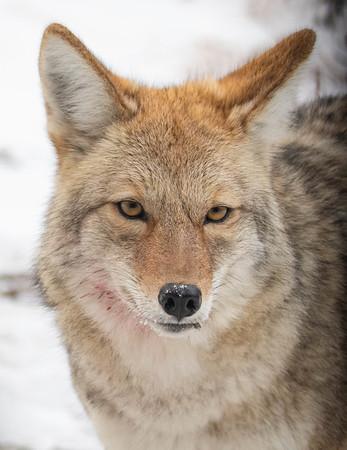 Coyote Soul