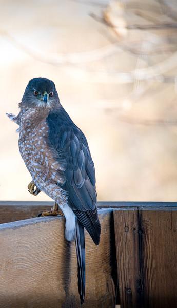 Hawk  Stories