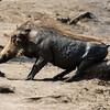 Warthog Rub
