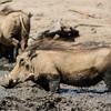 More Warthog Bathing