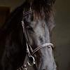 Big beauitful Fresian stallion