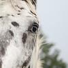A beautiful appaloosa stallion