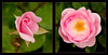 Growth of a Pink Rose