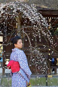 Japanese Girl in Kimono under Plum Tree in Spring  Kitano Tenmangu Shrine, Kyoto