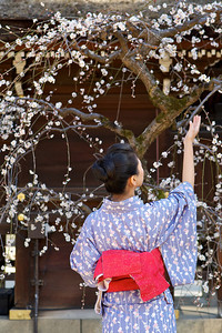 Japanese Girl in Kimono enjoying the First Plum Blossoms  At Kitano Tenmangu Shrine, Kyoto