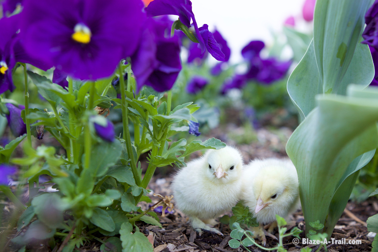 Spring Time Baby Chicks & Flowers
