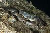 Crab<br /> Striped shore crab, Pachygrapsus crassipes<br /> Family Grapsidae<br /> King Harbor, Redondo Beach, Los Angeles County, California