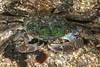 Crab<br /> Striped shore crab, Pachygrapsus crassipes<br /> King Harbor, Redondo Beach, Los Angeles County, California