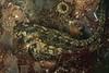 Hypsoblennius gentilis, bay blenny female<br /> King Harbor, Redondo Beach, Los Angeles County, California