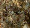 Hypsoblennius gentilis, bay blenny male<br /> King Harbor, Redondo Beach, Los Angeles County, California
