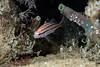 Juvenile black croaker emerged at night