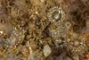 Antiopella barbarensis<br /> King Harbor, Redondo Beach, Los Angeles County, California
