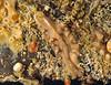 Flatworm, Pseudoceros mexicanus<br /> Dock float, Port Royal Marina, Redondo Beach, California