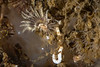 Calcareous tube worm, Hydroides elegans<br /> King Harbor, Redondo Beach, Los Angeles County, California