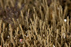 Spionid polychaete, Pseudopolydora paucibranchiata <br /> ID thanks to Leslie Harris<br /> King Harbor, Redondo Beach, Los Angeles County, California