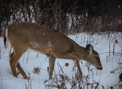 A nervous whitetail deer picks its way along the Chippewa Trail in Midland.