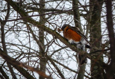 Is this the first robin of spring? It was about 10 or so degrees, so it was pretty odd to see a flock of robins. But they found an open spring that must have been full of fish. That's a small, frozen panfish in the robin's mouth.
