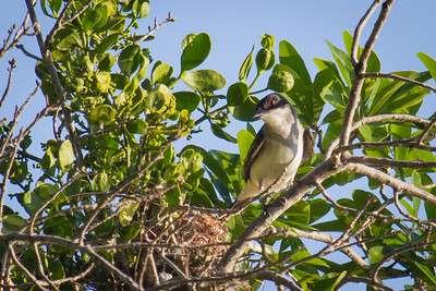 Nesting Kingbird at Wheeler National Wildlife Preserve