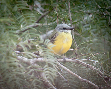 Couches Kingbird 2