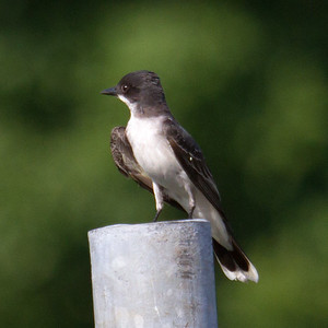 Eastern Kingbird at Forbes SP