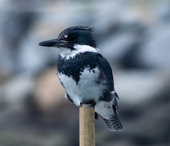 Belted Kingfisher Oceanside 2011 3 16-0807.CR2