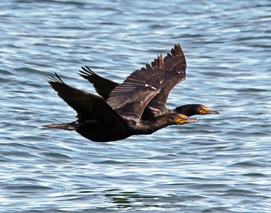 Cormorant Pair Flying
