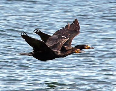 Cormorant Pair Flying