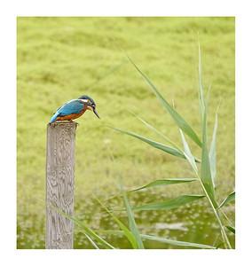 Kingfisher (Alcedo atthis), Brandon Marsh, Warwickshire, 12/08/2011.