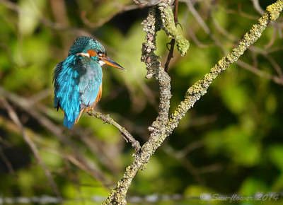 Verulamium Kingfisher
