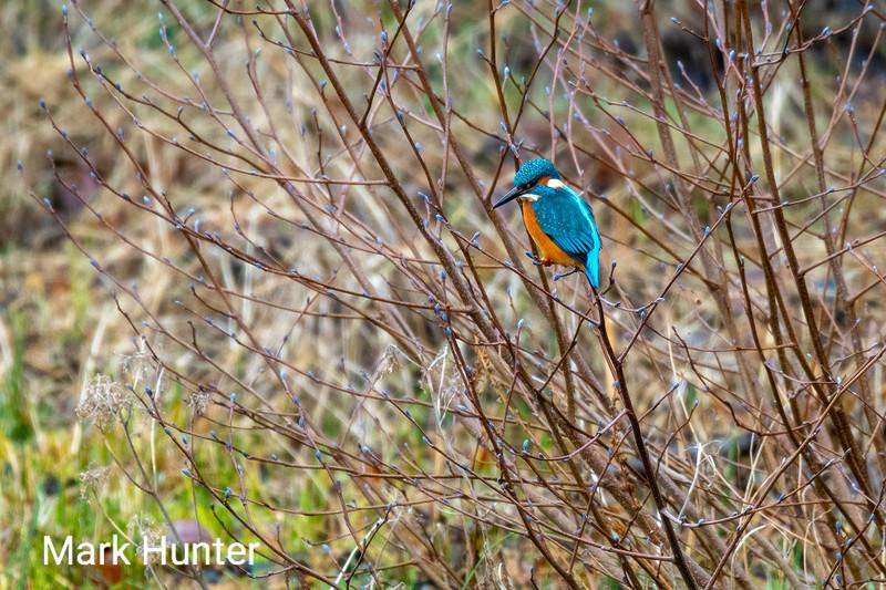 Kingfisher in the bush