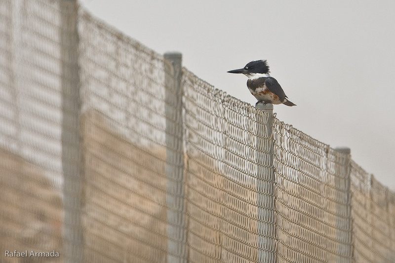 Belted Kingfisher (Megaceryle alcyon), 1st Winter Female. El Albujón (Murcia, Spain), January 2010.<br /> Esp: Martín gigante norteamericano
