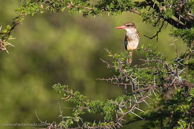 Brown-hooded Kingfisher (Halcyon albiventris). Mountain Zebra NP (South Africa), November 2005.