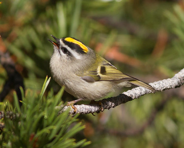 Golden-crowned Kinglet Yosemite 2015 10 02-4.CR2