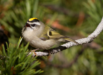 Golden-crowned Kinglet Yosemite 2015 10 02-3.CR2