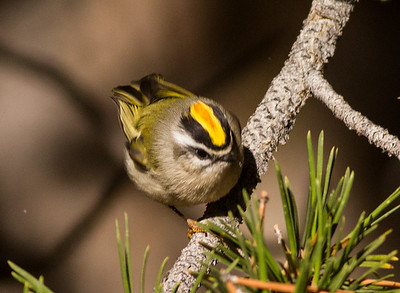 Golden-crowned Kinglet Yosemite 2015 10 02-1.CR2