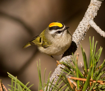 Golden-crowned Kinglet Yosemite 2015 10 02-2.CR2