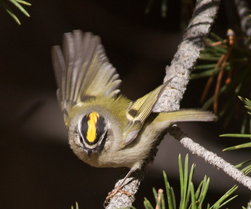 Golden-crowned Kinglet Yosemite 2015 10 02-5.CR2
