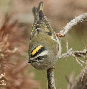 Golden-crowned Kinglet Mammoth Lakes 2017 09 03-2.CR2
